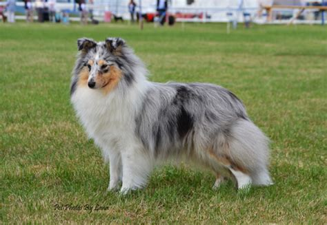shetland sheepdog shed breeds trying this again with new choices dogs