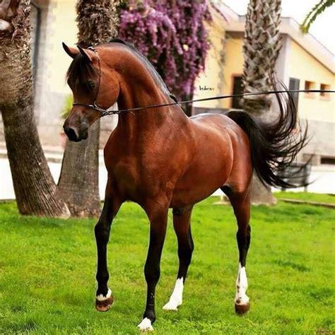 arabian horses superb