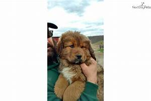 AKC registered Gold Tibetan Mastiff | Brown Female Tibetan ...
