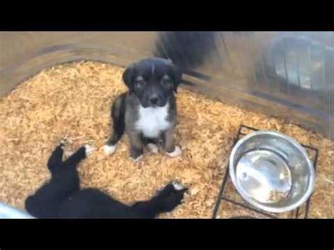 the puppy barn puppy barn american fork utah