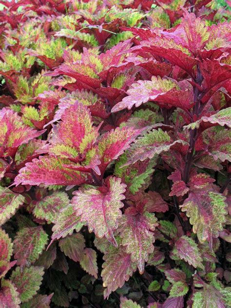 buy coleus plants ideas for low cost gardening diy garden projects vegetable gardening raised beds growing