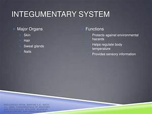 Human Body Systems  U0026 Major Organs