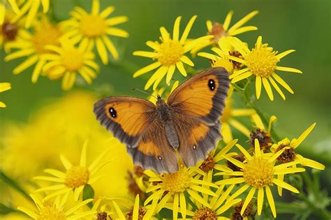 wallpaper butterfly yellow flowers  animals