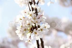 Rosa Blühende Bäume April : fr hling kirsche wei und rosa bl hen zweig blumen makro ansicht stockfoto colourbox ~ Michelbontemps.com Haus und Dekorationen