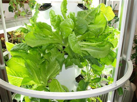 Vertical Garden Lettuce by Harvesting Lettuce From Your Vertical Garden Backyard