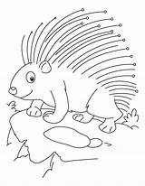 Porcupine Coloring Threatened Printable Getcolorings sketch template