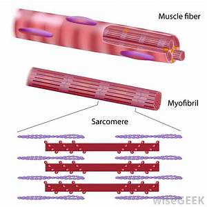 What Are Myofibrils   With Pictures