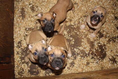 show improve kennels american pit bull terrier breeder