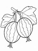 Coloring Gooseberry Berries Fruits Printable Gooseberries Fruit Drawing Adult Vegetables Visit Recommended sketch template