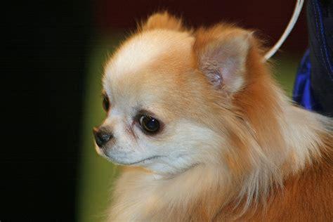 chihuahua  mexican dwarf dog