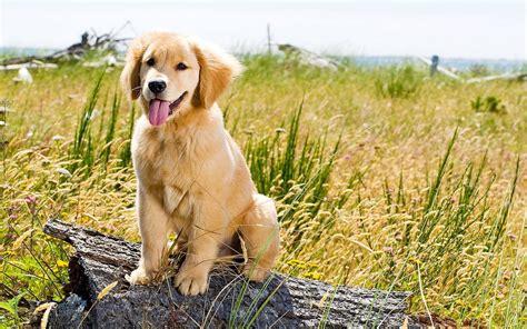 Golden Retriever Puppy Wallpaper by Golden Retriever Wallpaper 77 Images