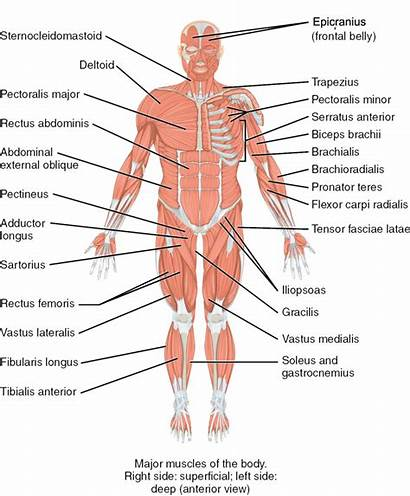 Muscles Anterior Muskeln Muscle Human Oblique System