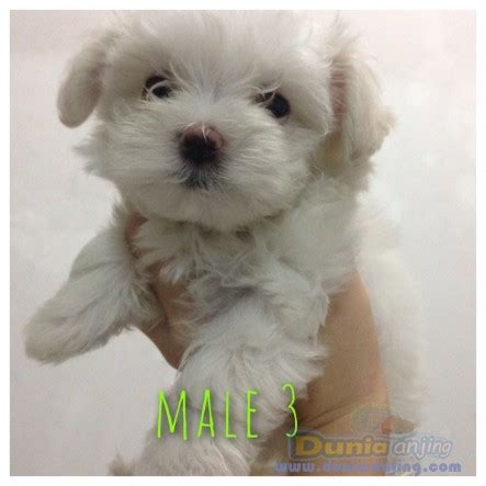 dunia anjing jual anjing maltese mini maltese puppies