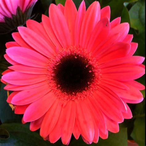 gerber daisy garden loves pinterest