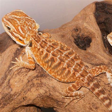 Bearded Heat L Went Out by Leatherback Bearded Dragons Amazing