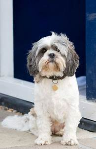 Pictures of Cute Shih Tzu Puppies | Cute Puppy Images Pictures
