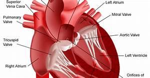 Cardiovascular   Cieculatory System