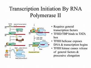Central Dogma How all cells express genetic information ...