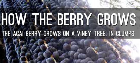 acai berry diet review add  improve  healthy diet lose weight  good blog