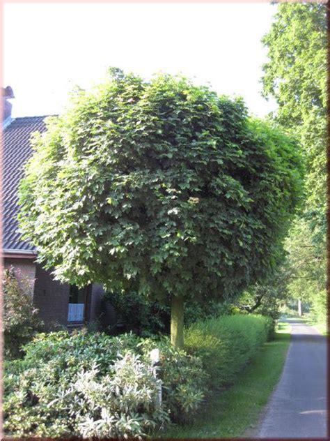 kugel trompetenbaum nana catalpa bignonioides nana
