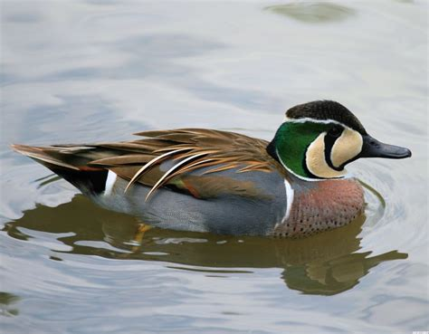 Wild Duck Breeds Love Animals Pinterest Duck Species