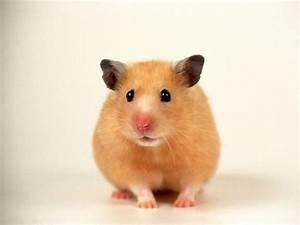 Hamster Wallpapers - Wallpaper Cave