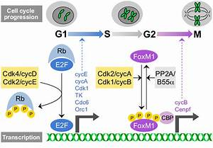 Cdk  Cyclin Complexes Regulate Rb  E2f