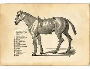 Vintage Horse Diseases Diagram - Unusual