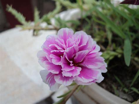 Filepink Flower Smalljpg  Wikimedia Commons