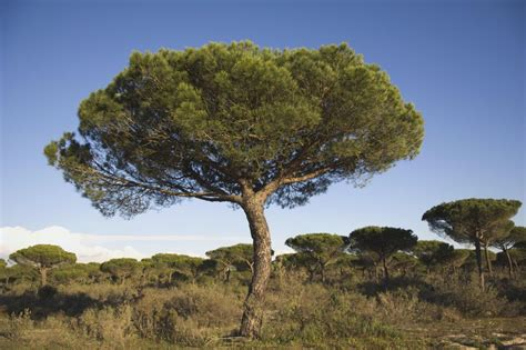 italian pine tree growing the italian pine in the home garden 7609