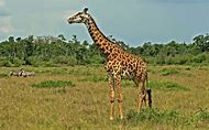 African Animals in Nature