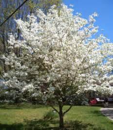 dogwood white flowering affordable trees