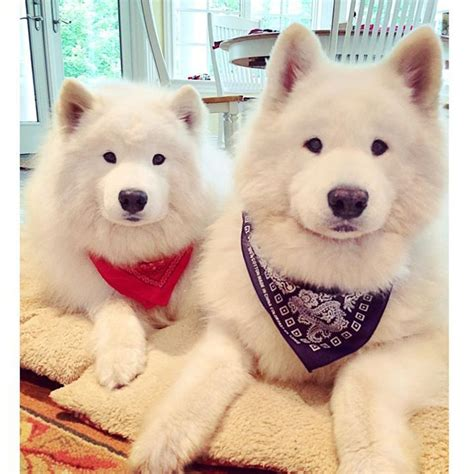 17 Best Images About Samoyed Smile On Pinterest
