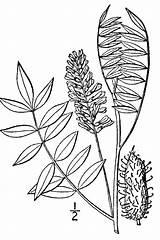 Plants Lepidota Glycyrrhiza Licorice Drawing Usda Plant Line Symbol Gov sketch template
