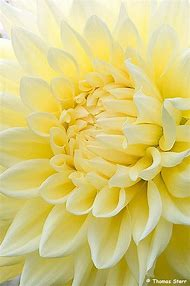 Best pastel yellow ideas and images on bing find what youll love light pastel yellow flowers mightylinksfo