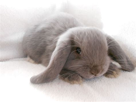 lop rabbit reserved pure bred lilac self baby boy mini lop stockport greater manchester pets4homes