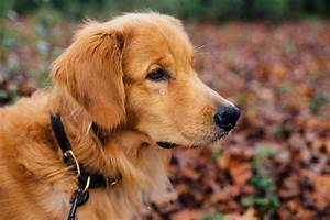 adorable golden retriever takes himself for walks at