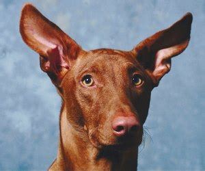 dog   biggest erect ears dog care daily puppy