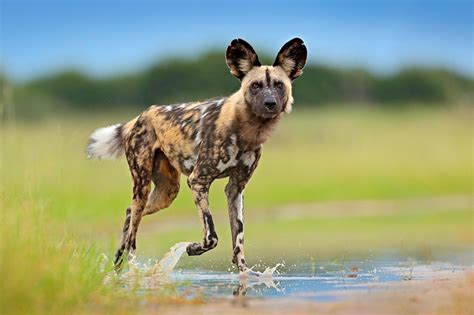 facts  african wild dogs cape hunting dogs