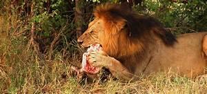 Lion-eating-food
