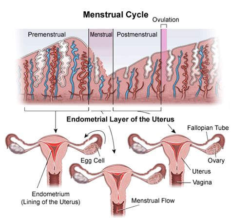 endometrial shedding without blood endometrial biopsy