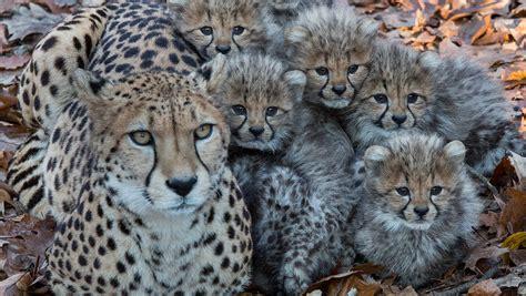geparden sechslinge  burgers zoo erkunden erstmals
