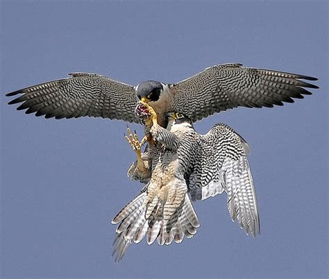 falcon cuisine peregrine falcon food transfer a gallery on flickr