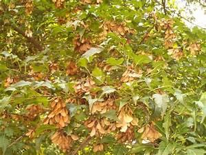 Maple Tree Seeds 2 by DerpyDash64 on DeviantArt