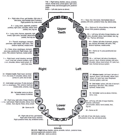 Tooth Diagram Chart by 24 Best Teeth Images On Hacks