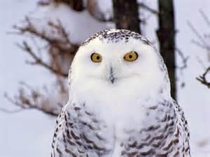 Arctic Snowy Owl
