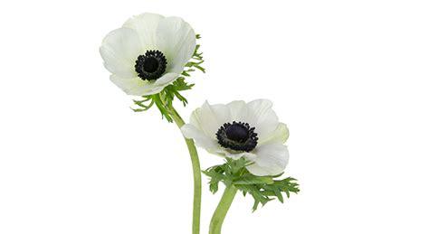 floral design institute anemone anemone windflower