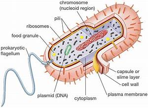 Bacterial Cell Diagrams Printable | Diagram Site