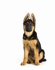 Sitting German Shepherd Dog