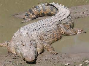 Saltwater Crocodile vs Alligator Size
